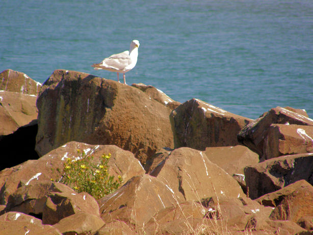 Gull at Cape Meares