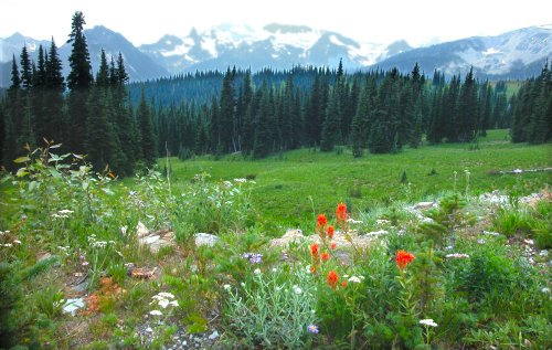 Wildflowers bloom in Mount Rainier National Park
