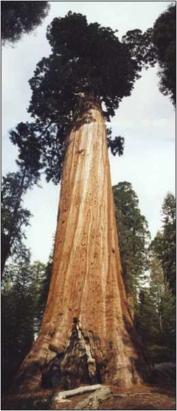 The Oregon Tree, Sequoia National Park