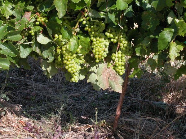 Grapes at beginning of ripening stage