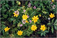 Agoseris grandiflora or Large-flowered Agoseris (yellow) and. . . (purple) perhaps